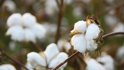 The Birth of the Cotton South